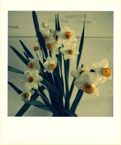 Sweet smelling narcissus