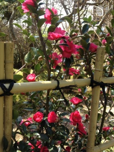 Camellias are already blooming