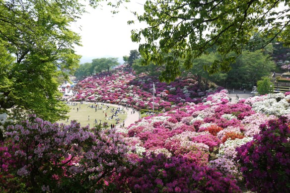 Swathes of azaleas in May