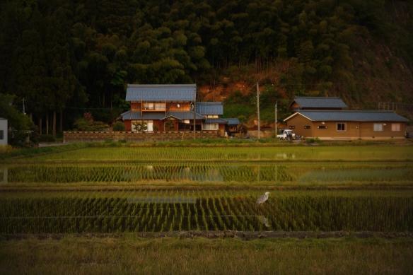 Heron in rice field, Fukui