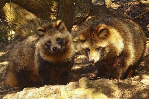Tanuki, are similar to racoon dogs, and bare no resemblance whatsoever to the super typhoon!